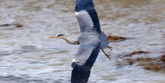 Garza real en el río Manzanares