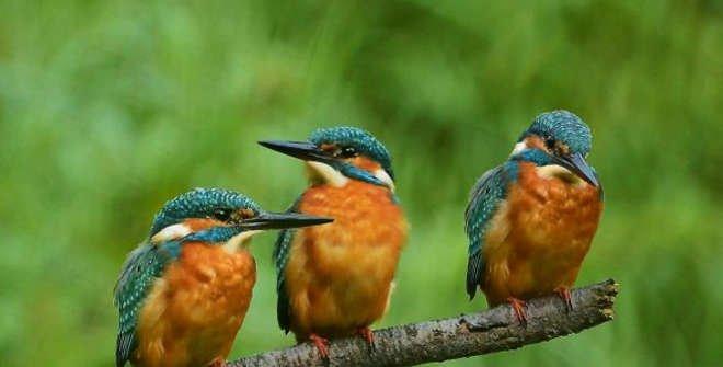 Aves en la Casa de Campo. Martín pescador común (Alcedo atthis)