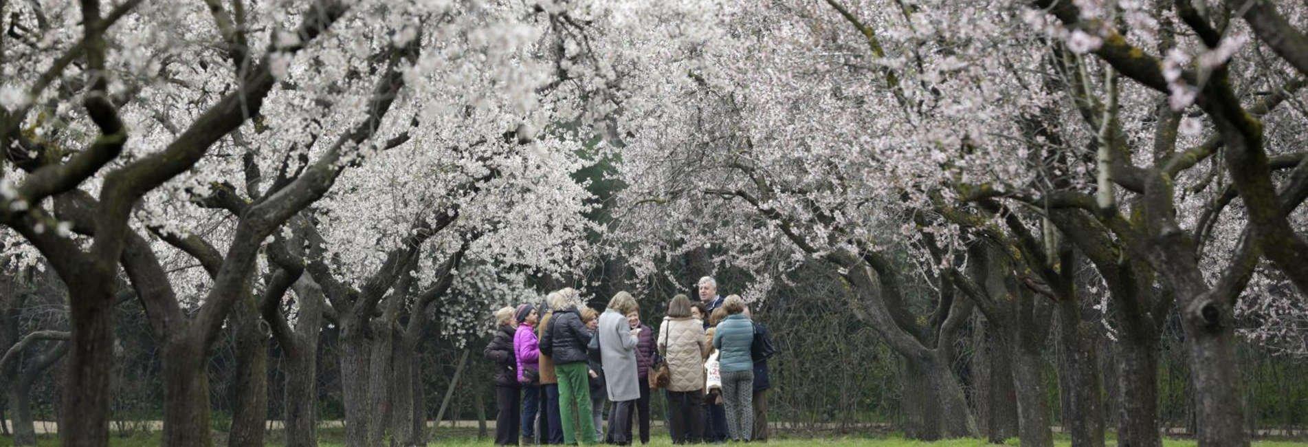Quinta de los Molinos. Almendros en flor