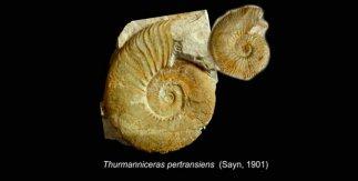 Las conchas de los ammonites