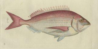 Peces de los mares de España. Un proyecto ecológico del siglo XVIII
