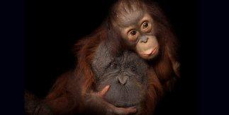 Aurora es una cría de orangután de Borneo (Pongo pygmaeus), especie en peligro de extinción. Aquí la vemos con su madre adoptiva, Cheyenne, cruce entre orangután de Borneo y de Sumatra (Pongo pygmaeus x abelii), en el zoo de Houston. JOEL SARTORE