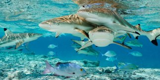 Sharks - Brian Skerry - National Geographic