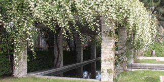 Rosas banksiae en la Rosaleda del Parque del Oeste