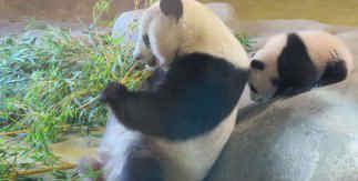 Los pandas Hua Zui Ba y su hija Chulina / Zoo Aquarium de Madrid